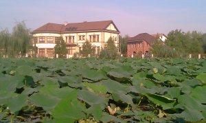 JOB: Hoţii de flori, invitaţi în aria protejată a Lacului Snagov. Lotusul indian se vinde bine la semafor!