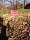 press-rose-garden-trinitas