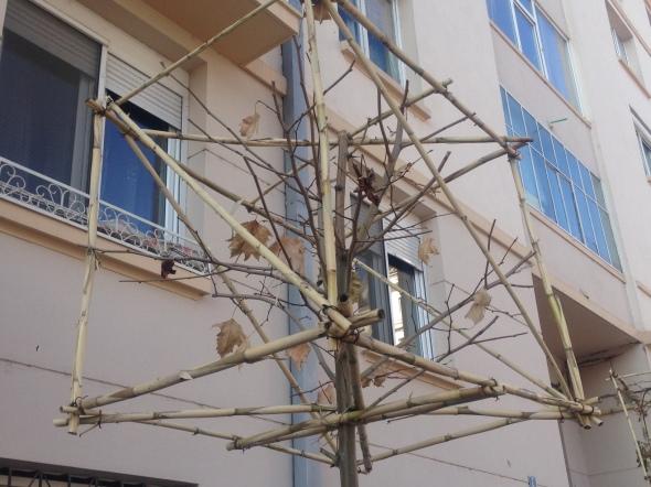 craiova-copaci-cu-cap-patrat