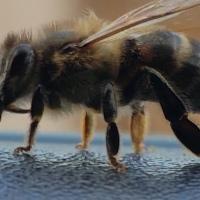 """EINSTEIN: """"Dacă albina ar dispărea de pe suprafața globului, atunci omul ar mai avea 4 ani de trăit"""""""