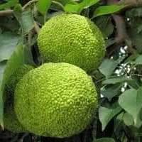 MĂRUL CAILOR: Fructul din care se extrage insecticid. Nu este comestibil!
