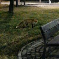 CRAIOVA: După ce au fost alungate, vulpile caută de mâncare în coșurile de gunoi din Parcul Tineretului.