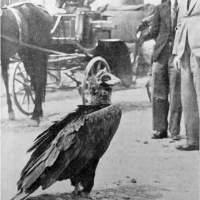 BUZĂU: Timp de 18 ani vulturul Ilie a fost hrănit, iubit și respectat de cetățenii urbei. Întregul oraș s-a revoltat împotriva soldatului asasin!
