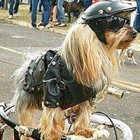 COOL & SAFE: Casca de motociclist pentru câine ori pisică, noua descoperire pentru bikerii responsabili, iubitori de animale